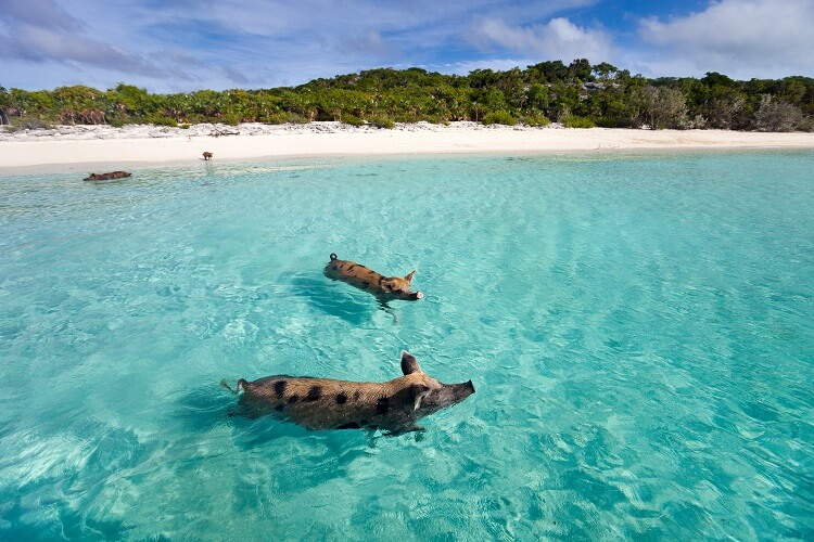 Things to Do in the Caribbean | Pig Beach